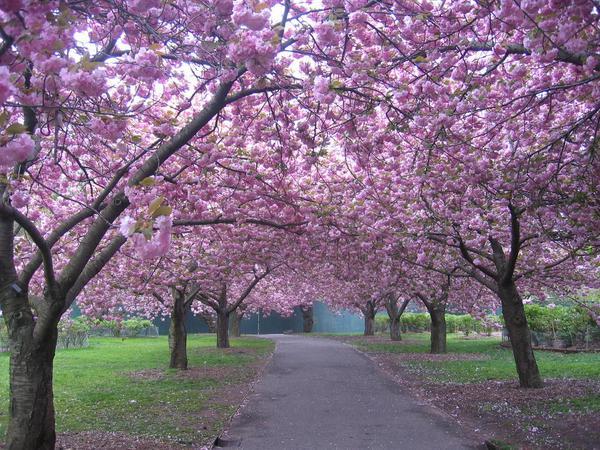 زهور الكرز في حدائق بروكلينالنباتية