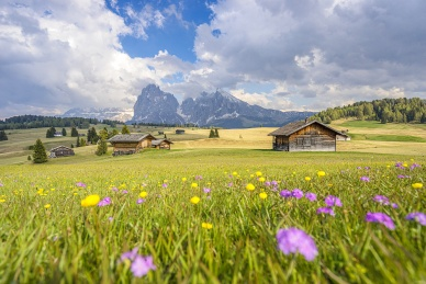 Alpe di Siusi/Seiser Alm, Dolomites, Alto Adige, Italy, Europe. Spring colors on the Alpe di Siusi/Seiser Alm with the Sassolungo/Langkofel and the Sassopiatto/Plattkofel in background