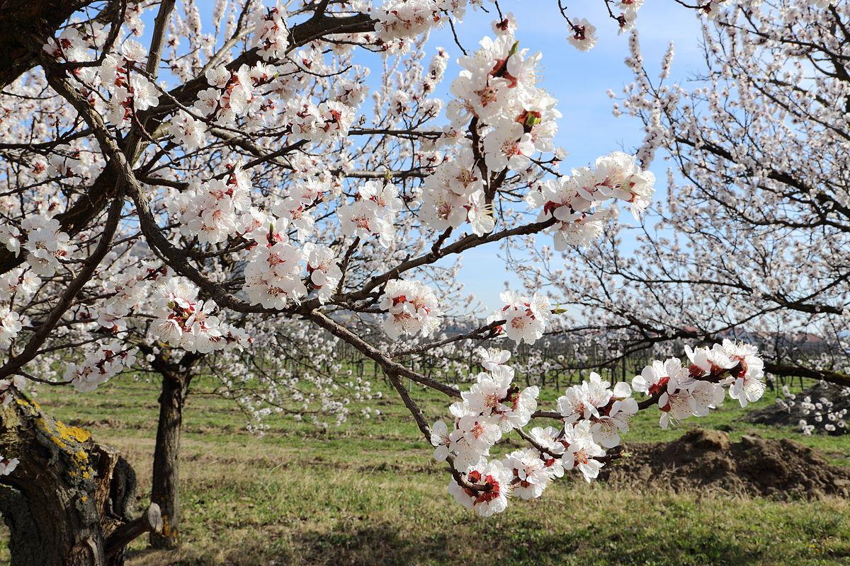 حقول زهور المشمش في واديفاخاو
