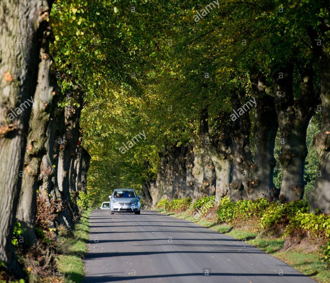 شارع نفق أشجارالزيزفون
